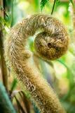 一棵蕨的绿色新芽在热带森林里 库存照片