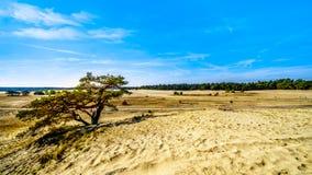 一棵被风吹扫树在Hoge Veluwe自然保护的微型沙漠Beekhuizerzand 图库摄影