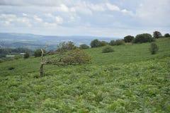 一棵被风吹树的更加接近的看法, Mendip小山 免版税图库摄影
