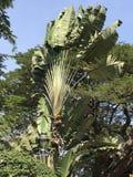 一棵装饰树看起来象香蕉 免版税库存图片