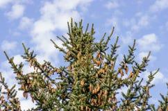 一棵豪华的年轻Sitka云杉树装载与与蓝天的新的种子锥体 免版税库存照片