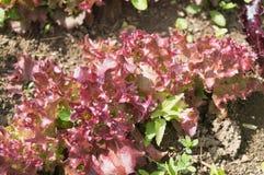 一棵豪华的红色莴苣植物的特写镜头顶视图 免版税库存图片