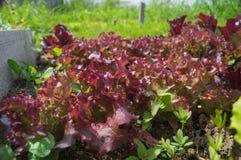 一棵豪华的红色莴苣植物的特写镜头顶视图 免版税库存照片