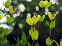 一棵野生密林大竺葵植物的新鲜的绿色叶子在热带苏里南南美洲 免版税库存照片