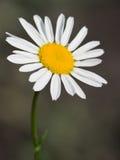 一棵野生春黄菊的花 免版税库存图片
