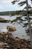 一棵针叶树在离缅因的岩石海岸的附近 免版税库存图片