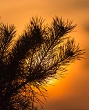 一棵针叶树的分支在日落的 库存照片