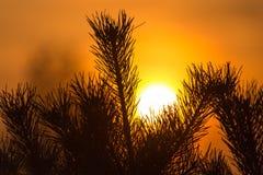 一棵针叶树的分支在日落的 免版税图库摄影