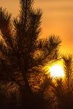 一棵针叶树的分支在日落的 免版税库存图片