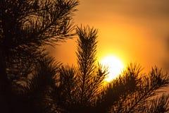 一棵针叶树的分支在日落的 库存图片