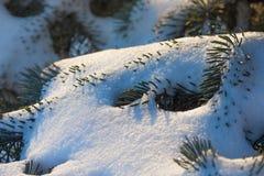 一棵针叶树的分支在雪的 库存照片