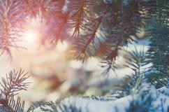 一棵针叶树的分支在雪的 免版税库存照片