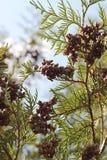 一棵针叶树的分支的底视图与小锥体的通过明亮的太阳亮光的光芒 免版税库存图片