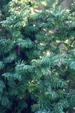 一棵针叶树的分支 免版税图库摄影