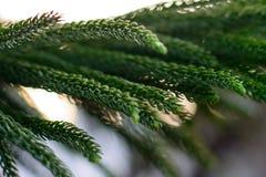 一棵针叶树的华美的绿色中国分支在阳光的在日落的 免版税库存照片