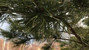 一棵针叶树的杉木分支在春雨中 股票视频