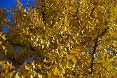一棵银杏树树的冠在明亮的天空的背景的 库存照片