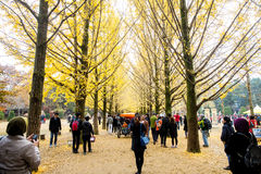 一棵银杏树的秋叶在娜米海岛上的 免版税图库摄影