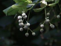 一棵银色菩提树的水果摊 免版税库存照片