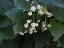 一棵银色菩提树的水果摊 免版税图库摄影
