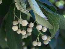 一棵银色菩提树的水果摊 库存照片