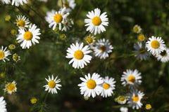 一棵错误春黄菊的花 库存照片