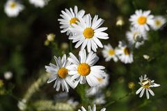 一棵错误春黄菊的花 免版税库存图片