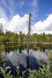 一棵雪松的干燥树干在边缘沼泽湖的 免版税库存图片