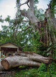 一棵非常大树100岁落残破由一场强的风暴 免版税库存图片