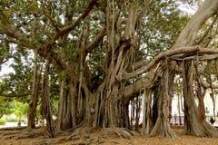 一棵非常巨型树,榕属Macrophylla树 图库摄影