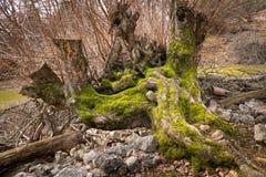 一棵非常老树的遗骸和根在一个森林里在克罗地亚 库存图片