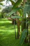 一棵香蕉树的热带密林叶子自温室 库存照片