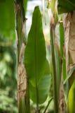 一棵香蕉树的热带密林叶子自温室 图库摄影
