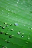 一棵香蕉棕榈的绿色叶子有雨珠的 免版税库存图片