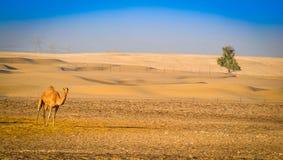 一棵骆驼和树在沙漠 免版税库存照片