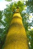 一棵高和厚实的树,从底部的看法 免版税库存图片