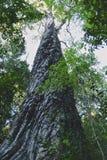 一棵高大的树木在森林里 免版税库存照片