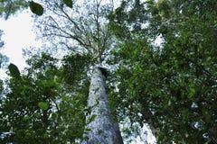 一棵高大的树木在森林里 免版税库存图片