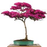 一棵高山玫瑰色盆景树的花 免版税库存图片