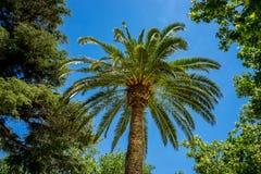 一棵高棕榈树在市朗达西班牙,一个热的总和的欧洲 库存照片