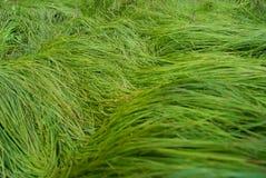 一棵高水多的草的纹理 库存照片