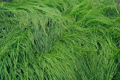 一棵高水多的草的纹理 库存图片