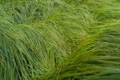 一棵高水多的草的纹理 免版税库存照片