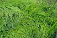 一棵高水多的草的纹理 免版税库存图片