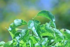 一棵鲜绿色植物的叶子 库存图片