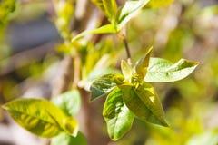 一棵鸟樱桃树的一个年轻分支与开花与春天出现的新鲜的年轻绿色叶子的 免版税库存照片