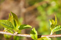 一棵鸟樱桃树的一个年轻分支与开花与春天出现的新鲜的年轻绿色叶子的 库存照片