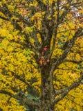 一棵鸡爪枫在秋天 免版税库存照片