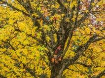 一棵鸡爪枫在秋天 免版税库存图片
