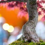 一棵鸡爪枫盆景树的树干作为紧密  免版税库存照片
